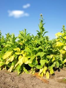Was ist im Tabak enthalten - suchtverstärkende Zusatzstoffe